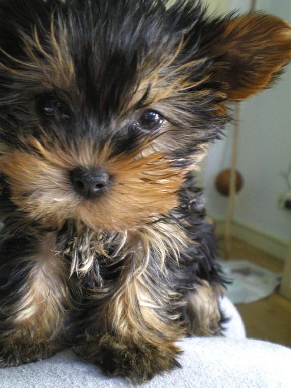 yorkie puppy close up face picture.jpg
