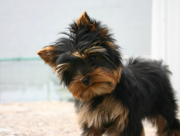 tan yorkie yorkie puppy in black and tan jpg 2 comments 3858