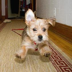 yorkie puppy in hurry.jpg