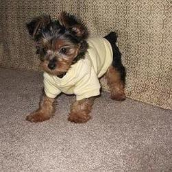 yorkie puppy in outfit.jpg