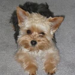 yorkie puppy in tan and black with big ears.jpg