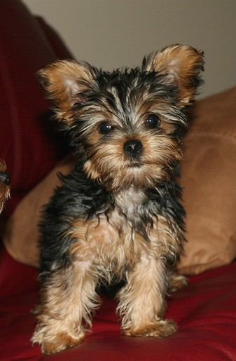 Yorkie Puppy In Tan And Black Jpg