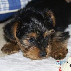 yorkie puppy looking at its toy.jpg