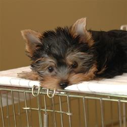 yorkie puppy looking sad.jpg