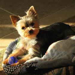 yorkie puppy on bed with its toy.jpg
