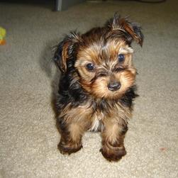 yorkie puppy on carpet.jpg