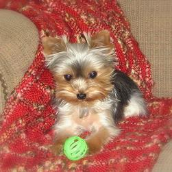 yorkie puppy on coach with its green ball.jpg