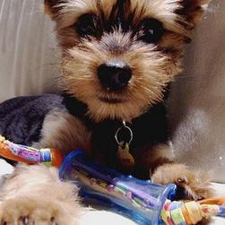 yorkie puppy on sofa playing toy.jpg