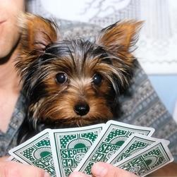 yorkie puppy playing cards.jpg