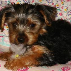 yorkie puppy playing tou.jpg