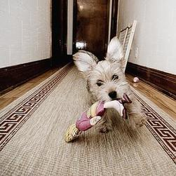yorkie puppy running off with its toy.jpg