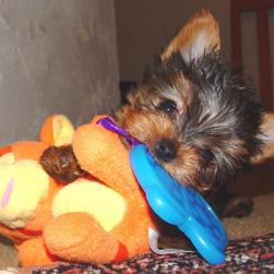 yorkie puppy with its big toy.jpg