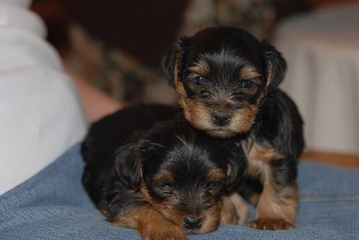 yorkshire terrier breeders.jpg
