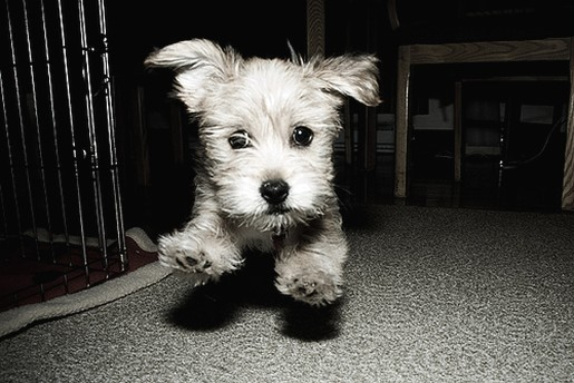 Yorkshire Terrier Pup On Running In Black And White Photo
