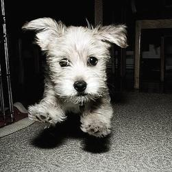 yorkshire terrier pup on running in black and white photo.jpg
