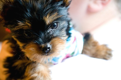 yorkshire terrier puppy close up face.jpg