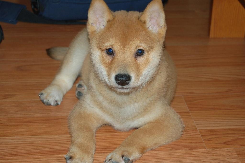 beacutiful Shiba Inu pup in cream and tan.jpg