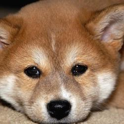 Shiba Inu puppy face close up.jpg