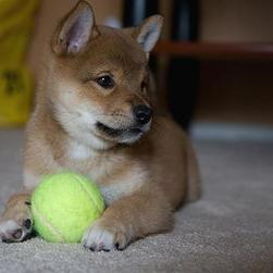 Shiba Inu puppy playing with tennis bald.jpg