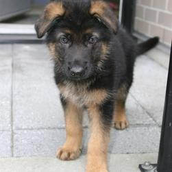 German Shepherd pup photos.jpg