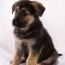 German Shepherd puppy_do i look good.jpg