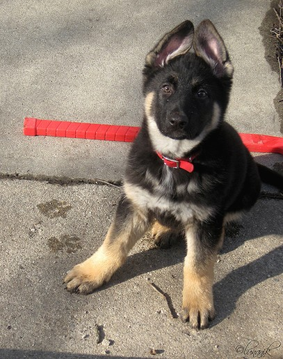 German Shepherd puppy_check out what i can do with my ears.jpg