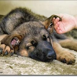 German Shepherd puppy_can i sleep in peace please.jpg