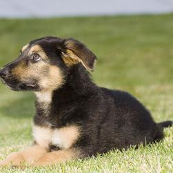 German Shepherd puppy_can i run like crazy out here.jpg