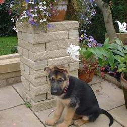 German Shepherd puppy_I don't know how to post right.jpg