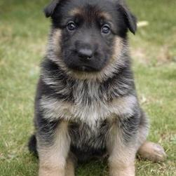 lost looking German Shepherd puppy.jpg