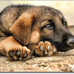 German Shepherd puppy_what should i do with my life.jpg
