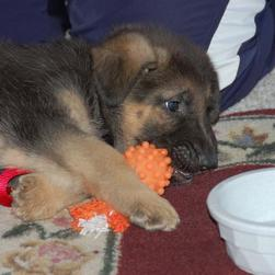 sad looking German Shepherd puppy.jpg