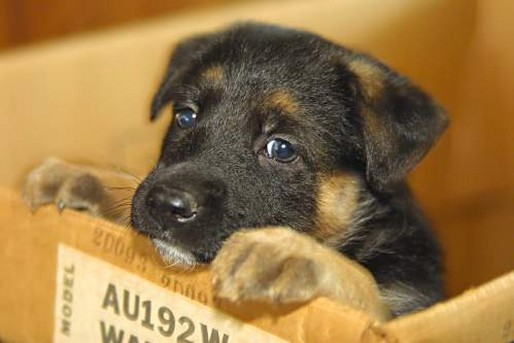 cute German Shepherd pup with a sad look.jpg (1 comment)