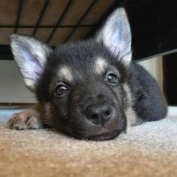 cute close face up of a German Shepherd puppy.jpg
