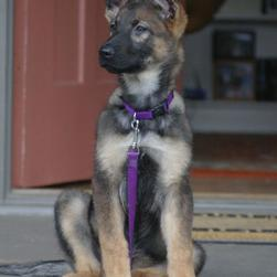 beautiful German Shepherd puppy.jpg