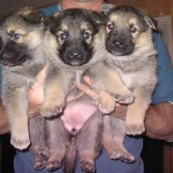 cute mixed German Shepherd breeders.jpg