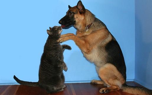 German Shepherd Dog Kissing A Cat Jpg 8 Comments