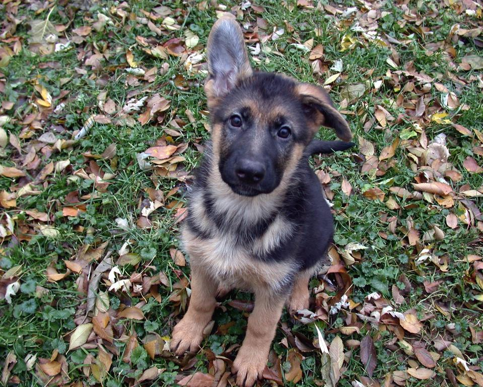 Buy German Shepherd Puppies For Sale Near Me In Germany