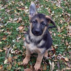 German Shepherd dog puppy.jpg