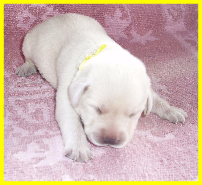 labrador young puppy.jpg
