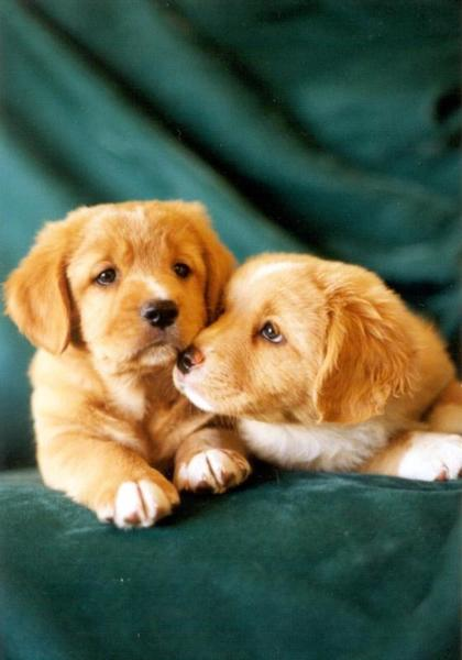 toller pups_two.jpg