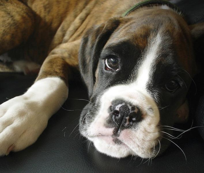 boxer puppy face close up.jpg