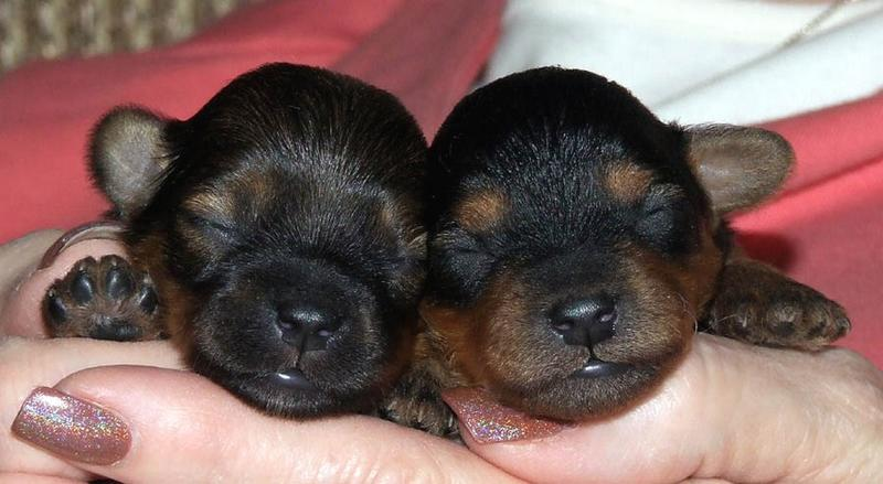 two cute looking yorkie puppies.jpg