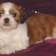 Lhasa Bichon with tan, white and brown.jpg