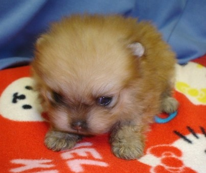 super cute pomeranian puppy picture.jpg
