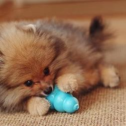 small cute poneranian puppy in tan and brown playing its toy.jpg