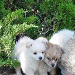 poneranian puppies picture.jpg