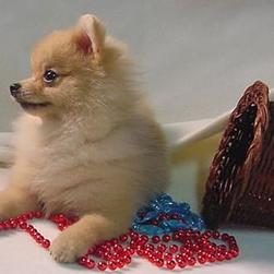 Pomeranian puppy photo.jpg