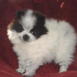 pomeranian puppy in white and black.jpg