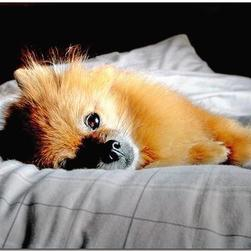 pomeranian puppy comfortabe in bed.jpg